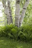 White Birch and Cinnamon Fern