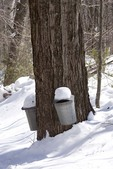 Two Sap Buckets Covered in Snow