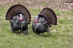 Two Male Eastern Wild Turkeys