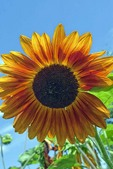 Sunflower with Bright Blue Sky