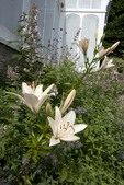Day Lilies at The Botanical Garden at Smith College