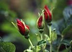 Rosa Rugosa Buds