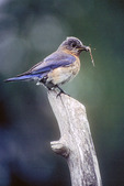 Bluebird with a Butterfly