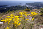 Goldenrod on Mt. Battie Overlooking Camden Harbor