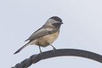 Chickadee on a Pole