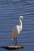 Snowy Egret Standing on a Rock