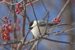 Black Capped Chickadee and Red Berries