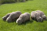 Five Merino Sheep Grazing