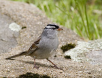 White Crowned Sparrow on a Wall