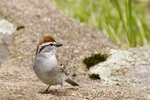Chipping Sparrow on a Stonewall
