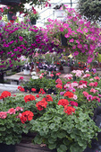 Geraniums in a Greenhouse