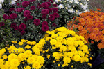 Colorful Hardy Mums