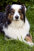 Australian Shepherd Lays in the Grass