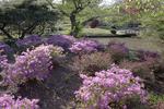 Flowering Shrubs in the Japanese Garden at the Roger Williams Park