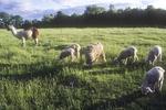 Sheep Grazing with a Guard Llama