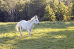 White Horse Running in Field