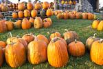 Big Orange Pumpkins