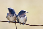 Two Young Barn Swallows Sitting on a Wire Fence