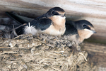 Two Young Barn Swallows in the Nest