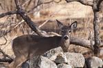 Deer Looking Across the Stonewall