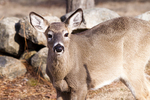 A White-tailed Doe