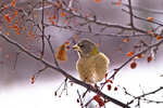 Evening Grosbeak On A Crab Apple Tree