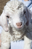 Max, Newborn Angora Goat