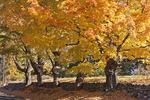 Maple Trees With Colorful Leaves