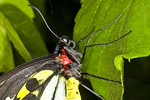 Closeup of a Golden Birdwing butterfly