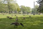 Many Geese Inhabit Elm park