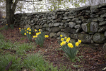 Daffodils By The Stonewall