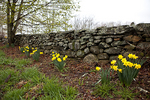 Daffodils Growing By The Old Stonewall