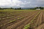 Newly Planted Field Hadley, MA