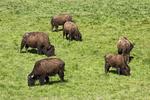 Buffalo Grazing in Massachusetts