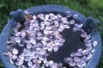 Apple Blossoms in a Bird Bath