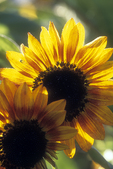 Two Backlit Sunflowers