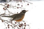 Robin In A Crab Apple Tree