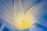 Morning Glory's Golden Rays