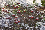 Early autumn snow storm knocks apples off of the trees and covers them with snow.