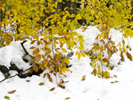 Yellow beech tree leaves hang low over a stone wall following an early winter storm.