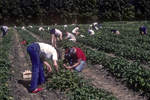 People picking strawberries in June at a Massachusetts farm
