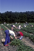 Many people enjoy picking strawberries at pick your own farm stands