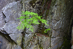 A tree grows right out of the rock wall at Chesterfield Gorge