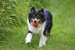 Australian Shepherd running with a ball in his mouth