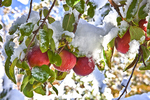 Apples still cling to the tree after an unusual fall snow storm