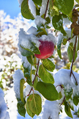Verticle photograph of apple on a tree covered with snow