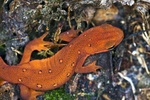 Close-up of an eastern newt on the forest floor