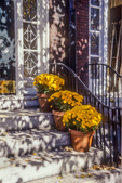 Yellow chrysanthemums on the steps of a Beacon Hill home.