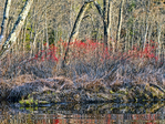 Winterberry on the banks of the Tully River.