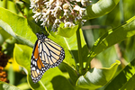 Monarch butterfly on a milkweed plant #2.